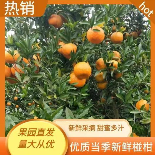 椪柑 四川柑橘诚信经营,质量保证, 全国发货。
