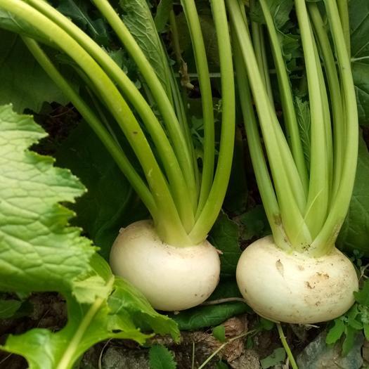 圆白萝卜,水果萝卜,可做蔬菜沙拉,带叶出售,优质原生态农产品