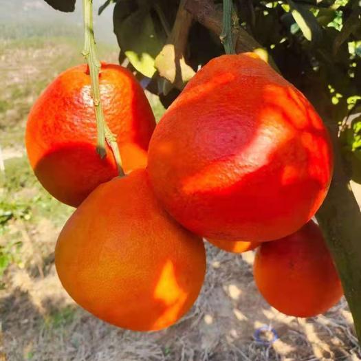 蜜柚苗  新(泰国暹罗红柚苗)泰国三红柚苗.现挖现发.品质保证.红柚苗
