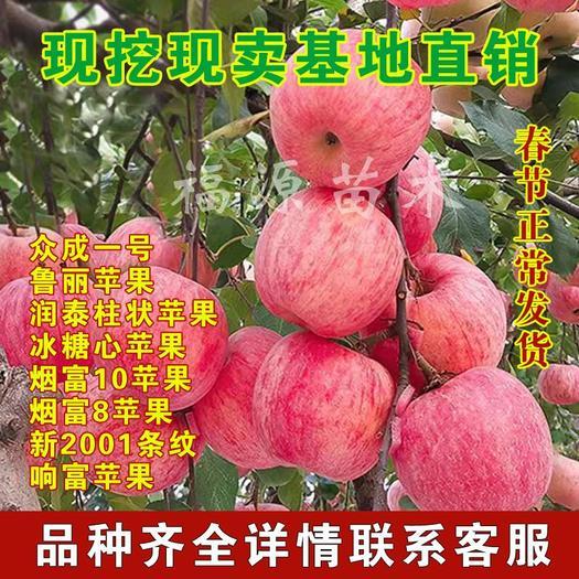 红富士苹果苗  众诚一号鲁丽苹果柱状苹果烟富苹果苗新品种 现挖现卖 保湿发货