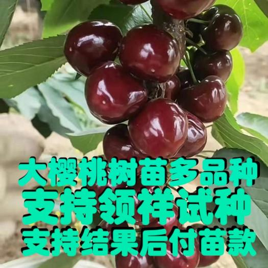 玛瑙红樱桃树苗  南方大樱桃树苗 玛瑙 红妃 黑珍珠 种植首年结果 死亡包赔