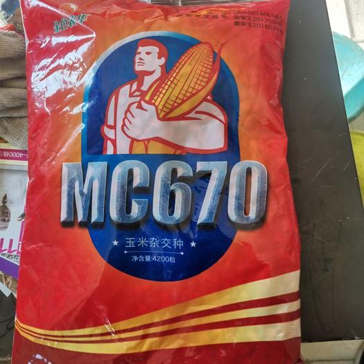 MC670玉米种子  棒子大,品质好,产量高!再创全国最高产纪录亩产3034斤!