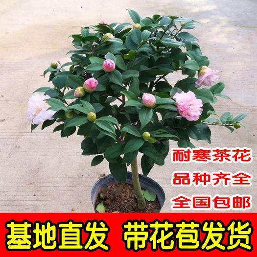 五色赤丹  茶花苗盆栽地载庭院带苞发货四季开花室内浓香 品种齐全