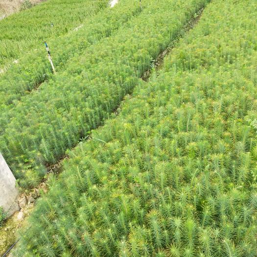 杉木树苗  马尾松苗,杉树苗,湿地松苗出售,有需要的联系