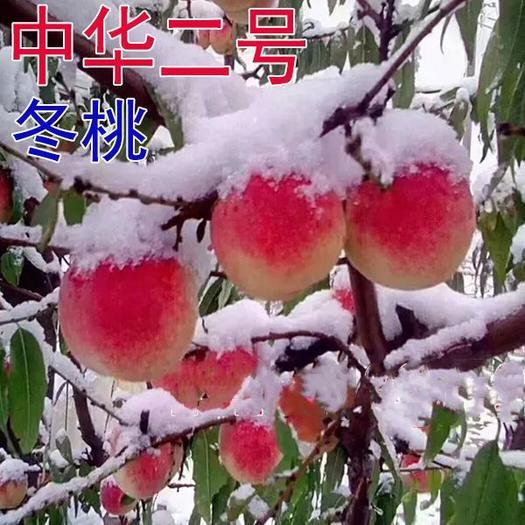 晚熟桃树苗巨型冬桃雪里红冬桃苗中华桃王云南冬桃树苗南北方种植