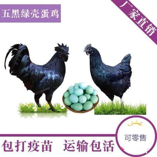 五黑鸡苗出壳苗,五黑绿壳蛋鸡苗出壳苗,孵化场直销,质量保证
