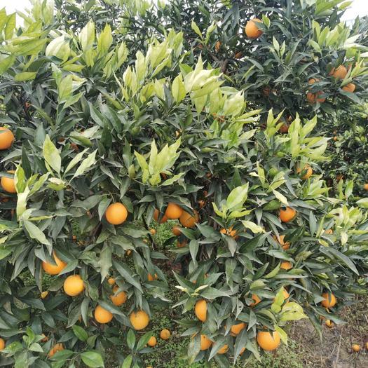 香橙苗  、正品长叶,品质保证,支持视频看货线上交易。