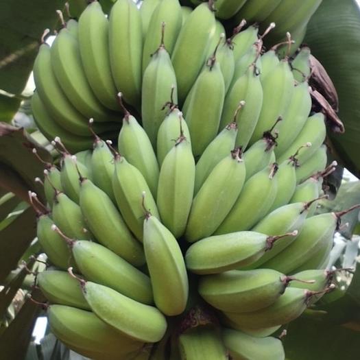 小米香蕉广东湛江小米香蕉非广西、云南香蕉 【支持一件代发】