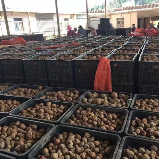 魔芋种子  一代种子二代种子全程提供技术指导签合同,保证上门回收