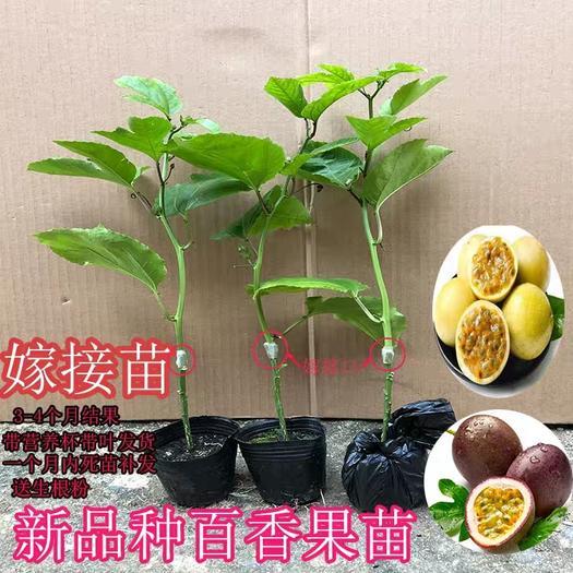 紫香百香果苗  黄金百香苗,嫁接 苗,脱毒苗,多种口味选择,产量高,当年结果