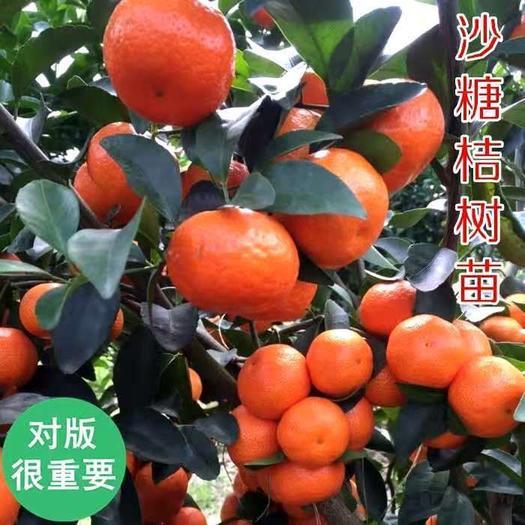沙糖桔苗  嫁接桔子树苗沙糖橘子苗南方北方种植庭院地栽盆栽果树苗当年结果