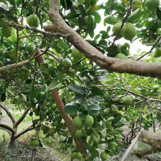 香水柠檬苗  正宗广东香水柠檬无籽,母树高压苗早挂果,早丰产千亩种植基地
