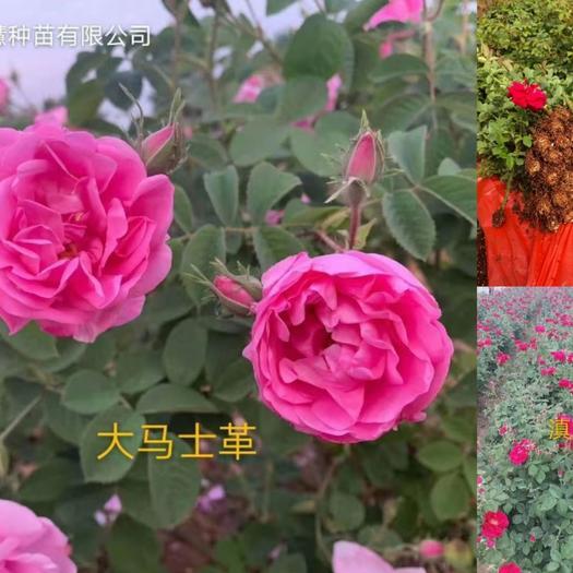 大马士革3号玫瑰  食用玫瑰,大马士革,紫枝季玫瑰,金边玫瑰,滇红,墨红