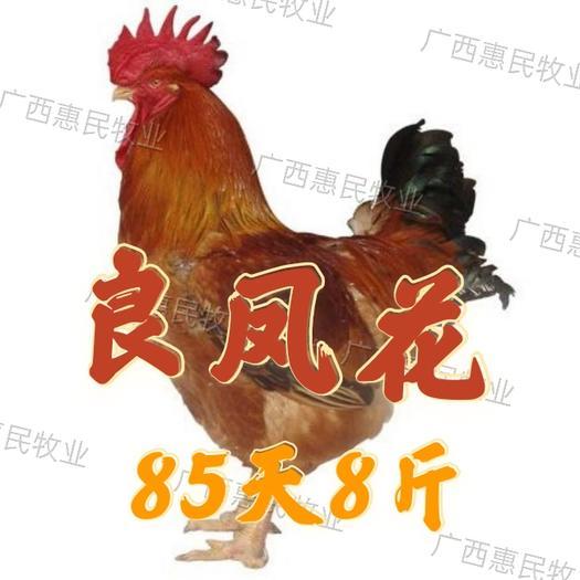 (纯良)好货 良凤花鸡苗 /快羽/慢羽快大肉鸡鸡苗孵化场直销