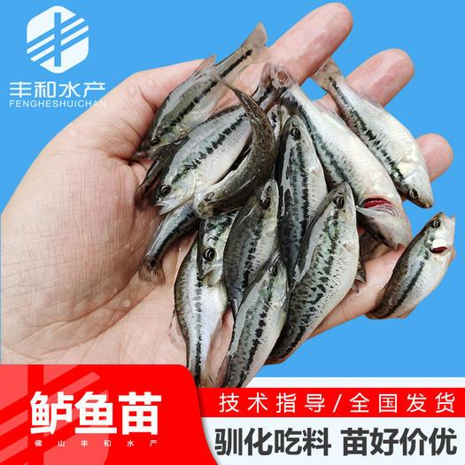 2021年新苗 鲈鱼苗 加州鲈鱼苗淡水鲈鱼苗供应 鱼苗
