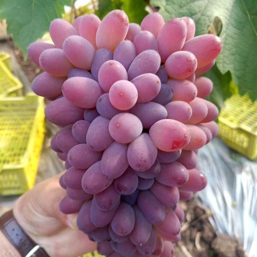 北镇茉莉香葡萄大量上市了,质量好,价格便宜,有需要可以联系