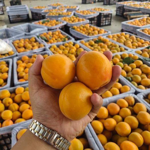 金太阳杏,凯特,青杏,大棚杏,产地发全国,市场,电商,超市,