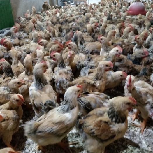 0.5至2斤的各种脱温鸡苗  做好疫苗  品质保证 全国发货