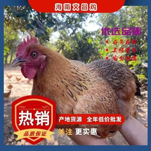肉鸡  海南 文昌鸡  精选回笼鸡 鸡子健康 天数达标!