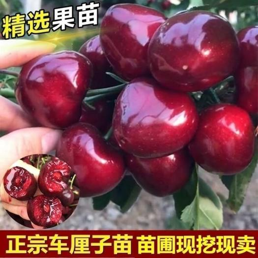 樱桃苗 俄罗斯8号樱桃苗 果大耐寒 当年结果