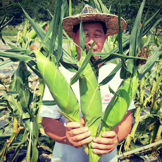 太阳花甜玉米种子  太阳花6号甜玉米种子,大个产量高,味甜,被收购商和种植户认可
