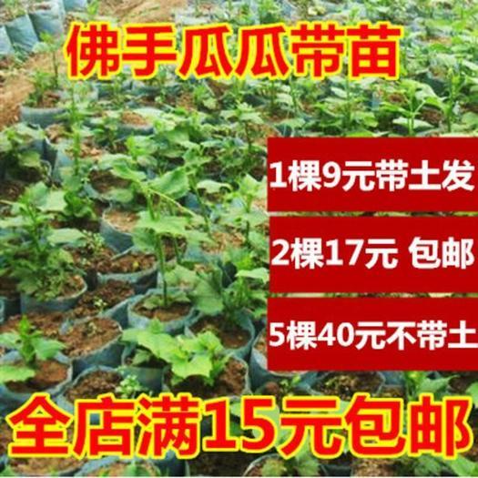 佛手瓜苗龙须菜苗蔬菜种子