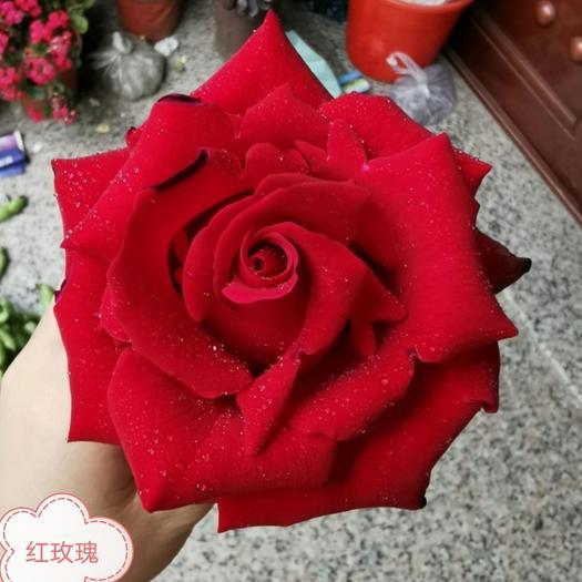 四季玫瑰  玫瑰苗,绿,红,黄,粉,橙,白,紫,黑色,钻石多头玫瑰苗