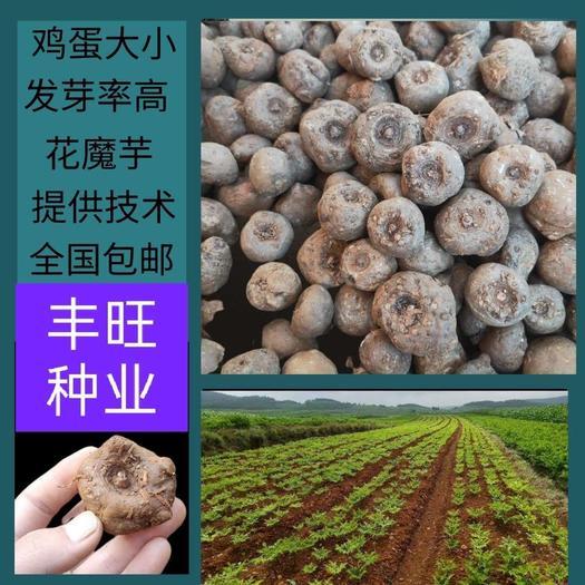 花魔芋种子,魔芋种,基地直发,要种子的朋友可以联系我们