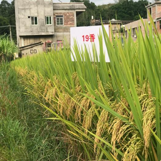19香  十九香水稻种子,广东丝苗米认定品种