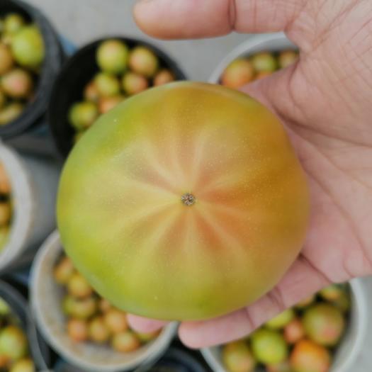 黄番茄  黄金西红柿,黄筋西红柿精品,果面数条金线,果形饱满圆润口感好