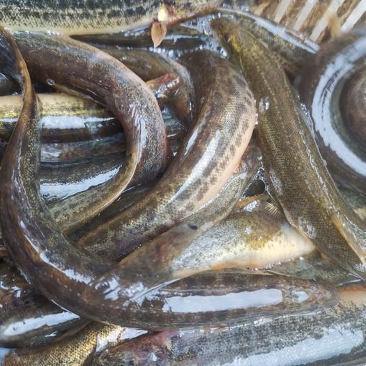 湖北泥鳅,圆鳅,粉鳅,青鳅,台湾扁鳅,黄鳝山出售