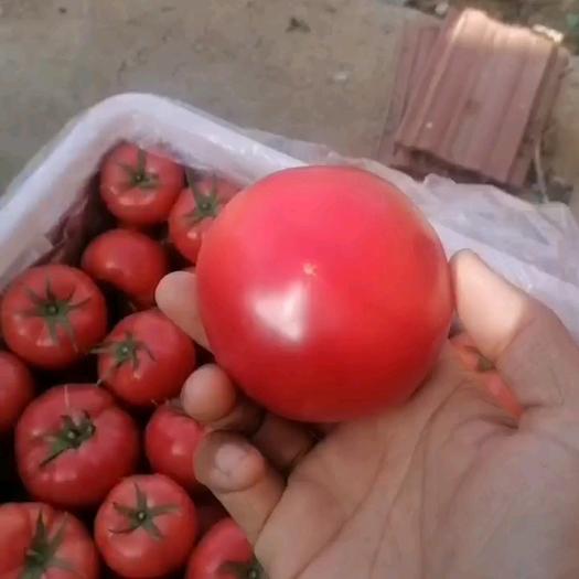 普罗旺斯番茄  普罗旺斯西红柿基地直发,海阳市合作社代办,落地配,一件代发