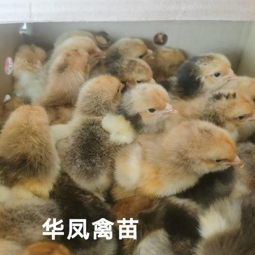 K9鸡苗  厂家直销纯种K9882鸡苗K901公苗