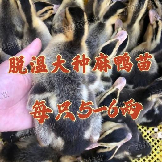 杂交鸭苗  5-6两脱温大种麻鸭苗 /大种/青头鸭苗(已做疫苗)