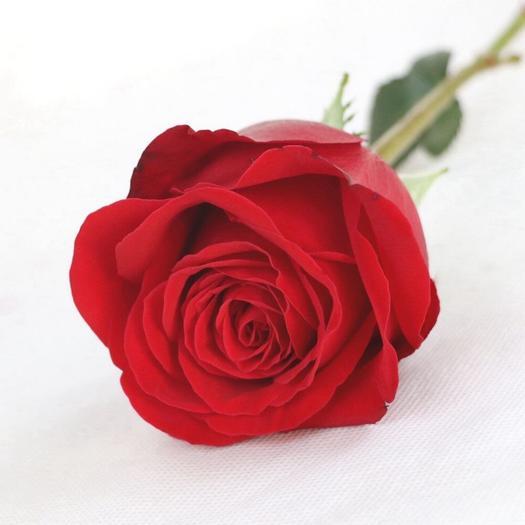 红色玫瑰花苗大花玫瑰苗盆栽花苗四季开花成成活率高阳台绿化种植