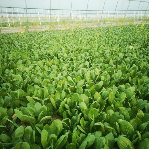 商丘市200亩大棚小油菜种植基地,精品小中棵上海青/小油菜