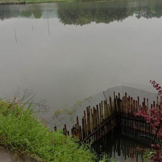水产养殖用地  出售45亩黄骨鱼养殖场带鱼苗