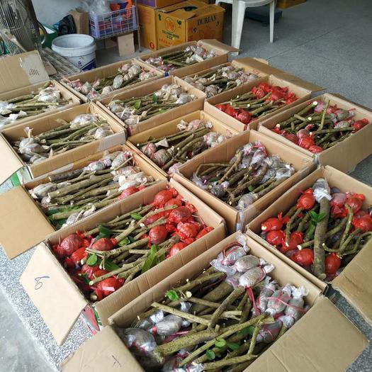 香水柠檬苗  ,广东无籽香水柠檬树苗,高压苗,品种好,品质更好
