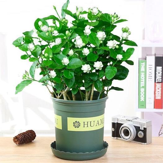 广西白色重瓣茉莉花苗盆栽四季开花室内阳台浓香型花卉绿植