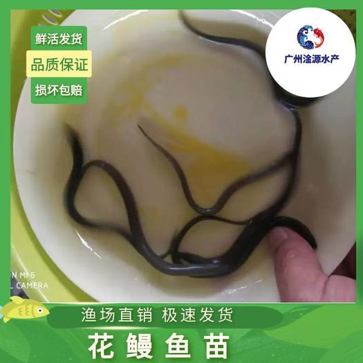 大量出售优质鳗鱼苗(白鱔鱼苗)。