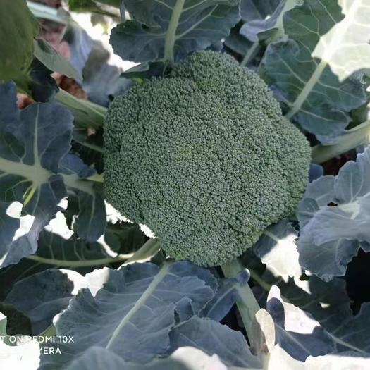 优秀西兰花  云南产区精品蔬菜合作社产地直销提供优质货源,水菜,特菜,野菜