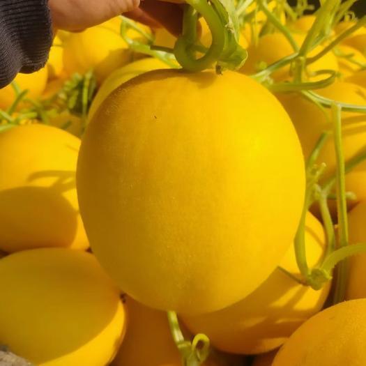 黄金蜜瓜  久红瑞香瓜,黄金蜜,甜瓜,黄河蜜,