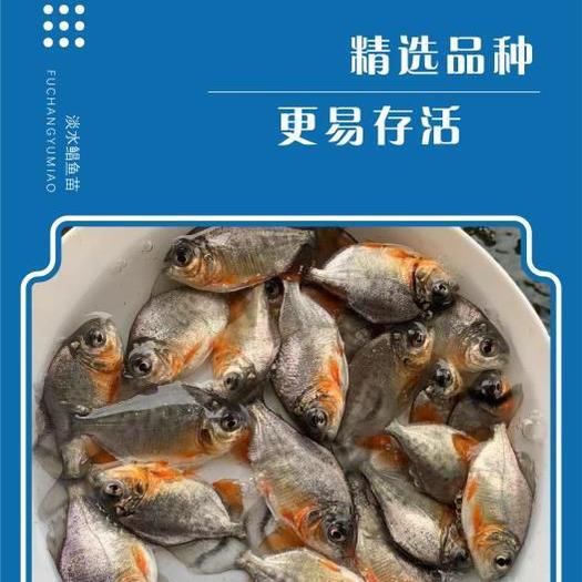 淡水紅鯧魚苗
