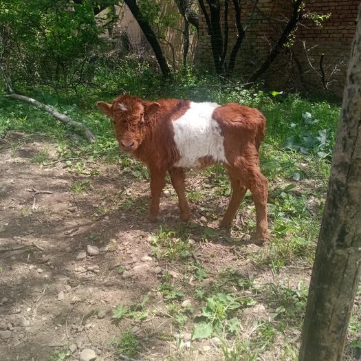 黄牛  牛犊实价一千三百五一头