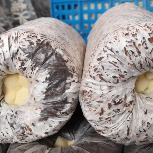 大球盖菇菌种  供应赤松茸栽培种