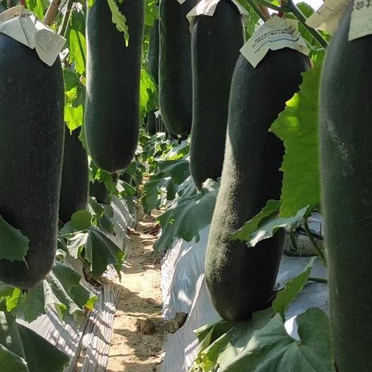 黑皮冬瓜  广西黑冬瓜     大量上市     货源漂亮    。。。