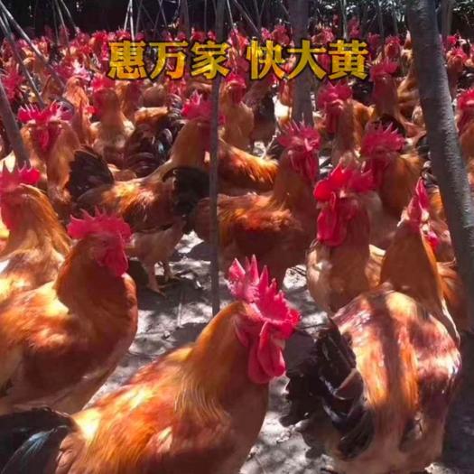 快大黃雞苗 快大型肉雞苗 公戶數據公苗63天2.7公斤