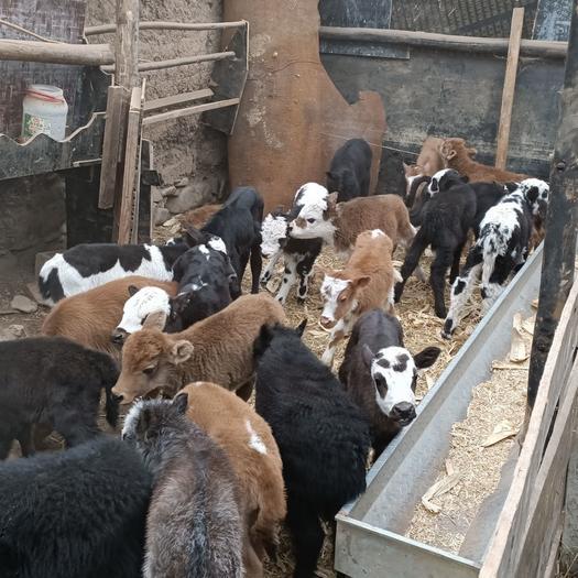 犏牛  本地改良土黃牛,品質好,價錢低,貨真價實,有要的聯系我