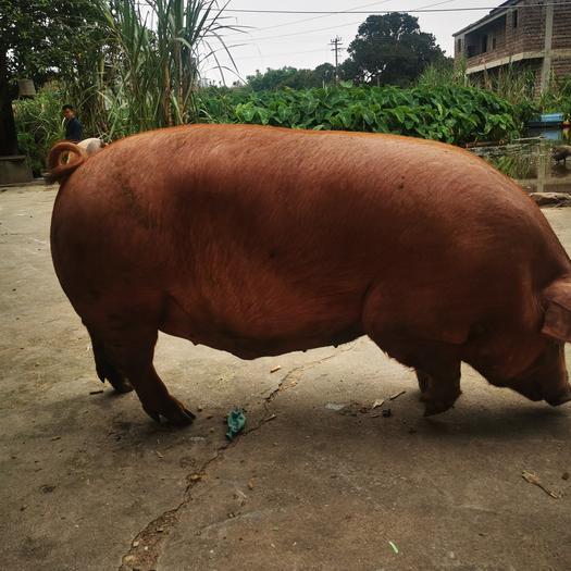 常年供应生猪 长白猪,白猪