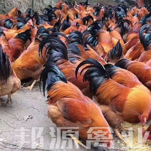 土鸡苗  鸡苗灵山土鸡桂香土鸡土阉鸡包打疫苗运输途中包死亡技术指导